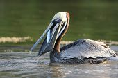 Brown Pelican Eating a Fish - Fort Myers Beach, Florida