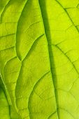 foto of avocado tree  - close up of one avocado green leaf - JPG