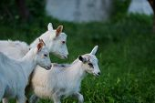 Goat With Her Cubs On The Farm. Family Of A Mother And Her Children poster