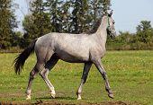Grey Horse Walking in Pasture