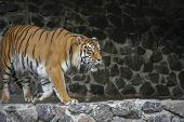 The Tiger Imposingly Goes On The Concrete Path And Rests, A Beautiful Powerful Big Tiger Cat On The  poster