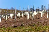 New wine vines