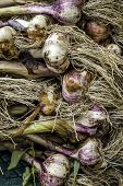 Stack Of Freshly Picked Garlic. A Close Up Of Freshly Picked Garlic Laying In A Stack. poster