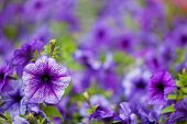 violet petunia flowers background