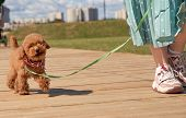 Little Puppy Runs Near The Foot Of The Hosts, Executes The Commands. Disciplined Dog Obeys Person. G poster