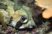Tropical Fishporcupinefish