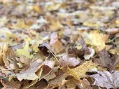 Many Fallen Maple Leaves, Golden Autumn , October poster