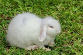 White Furry Skin Rabbit Is Pet On Garden poster