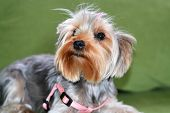 Puppy Of The Yorkshire Terrier, The Dog Is Lying On A Green Sofa, A Large Puppy Portrait, Vertical F poster