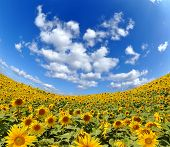 blue sky with clouds over the sunflower field - fisheye shot