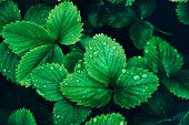 Top View Of Beautiful Fresh Greenery Strawberry Leaves With Rain Drops (dew) Background. Natural Flo poster