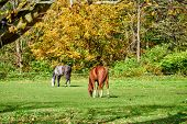Horses grazing at a pasture in Vermont, USA. poster