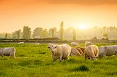 Cows On The Pasture Sunset Lights poster