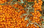 stock photo of sea-buckthorn  - orange  sea - JPG