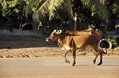 Cow Walk Road Country Thailand