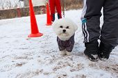 White And Fluffy Dog Obediently Performs Winter Training poster