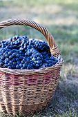 Dark Grapes In A Basket. Grape Harvesting. poster