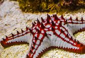 Closeup Of A African Red Knob Sea Star, Tropical Starfish Specie From The Indo-pacific Ocean, Marine poster