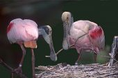 Spoonbills Nesting
