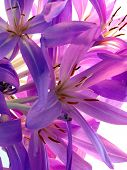 lila flowers of colchicum plant
