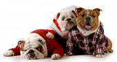 dog family - english bulldog father mother and daughter wearing clothing isolated on white background