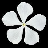 White Madagascar Periwinkle Flower Isolated On Black