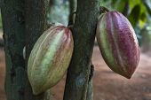 Cocoa pods hanging on a tree