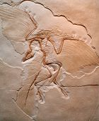 O Archaeopteryx lithographica