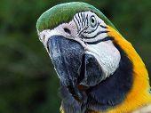 Macaw Head