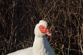 Head and shoulders of Muscovy Duck