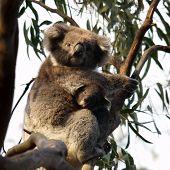 Koala With Cub