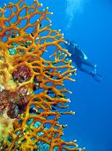 stock photo of fire coral  - coral reef with fire coral and girl diver in red sea in egypt  - JPG