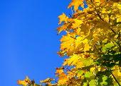 Blue Sky Golden Maple Leaf