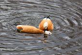 stock photo of animals sex reproduction  - Tadorna ferruginea Ruddy Shelduck - JPG
