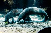 Two Manatee - Sea Cows