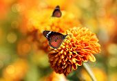 Monarch Butterfly On Orange Chrysanthemum Flowers & Beautiful Bokeh In The Background. This Pretty B