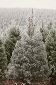 Frosty Cold Young Pine Tree On A Tree Farm