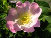 pink flower of briar rose