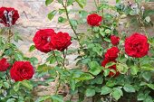 stock photo of climbing rose  - Roses on old wall at Palace Johannisberg in the Rheingau Hesse Germany - JPG