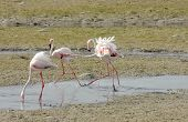 Beautiful Flamingos playing