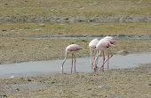 Beautiful Flamingos eating food