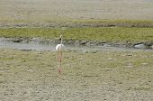 Beautiful lone flamingo