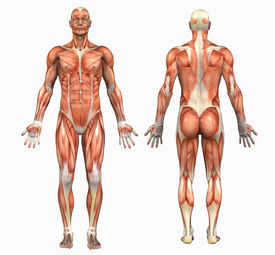 picture of male body anatomy  - 3d render depicting the muscle structure of the human body  - JPG
