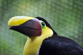 foto of mandible  - close up photo of a Chestnut Mandibled Toucan in the forests and jungle of Costa Rica - JPG