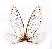 picture of cricket insect  - A pair of cicada insect wings on white background - JPG