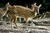 Deer Pack