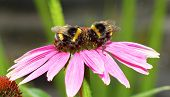 Two bumble bees on an echinacea (cone) flower.