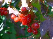 Cluster of a red guelder-rose