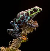 poison arrow frog from tropical Amazon Rainforest in Peru. Beautiful small animal with bright colour