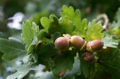 Acorns On A Branch
